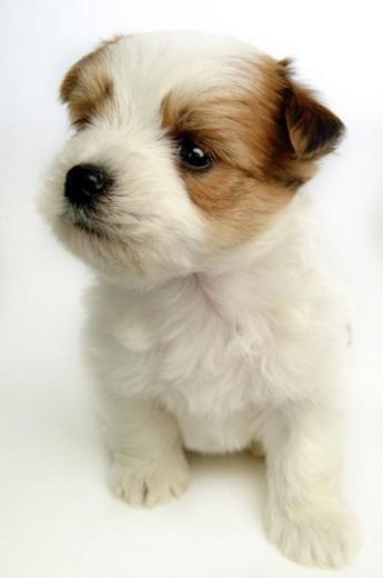Stock Photo: 4029R-17552 companion, pet, canine, close up, domestic animal, faithful, dog