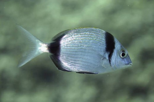 Stock Photo: 4029R-175542 Two-banded bream. Spanish Mediterranean.