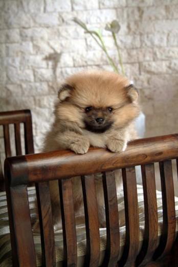 Stock Photo: 4029R-176625 faithful, domestic animal, companion, canine, close up, pomeranian