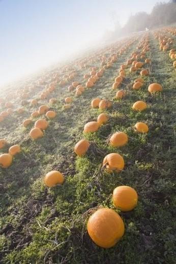 Stock Photo: 4029R-179036 Pumpkin patch