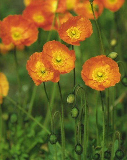 Iceland poppy, Chiba Prefecture, Japan : Stock Photo