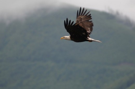 Eagle in flight, Pacific Rim National Park, Vancouver Island, Canada : Stock Photo