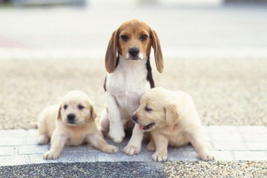 Stock Photo: 4029R-183246 Two Golden Retriever and a Beagle Sitting Outside, Looking at Camera, Front View, Differential Focus