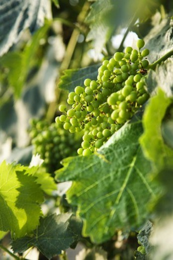 Stock Photo: 4029R-189123 Clusters of green grapes on a vine with leaves in Tuscany, Italy.