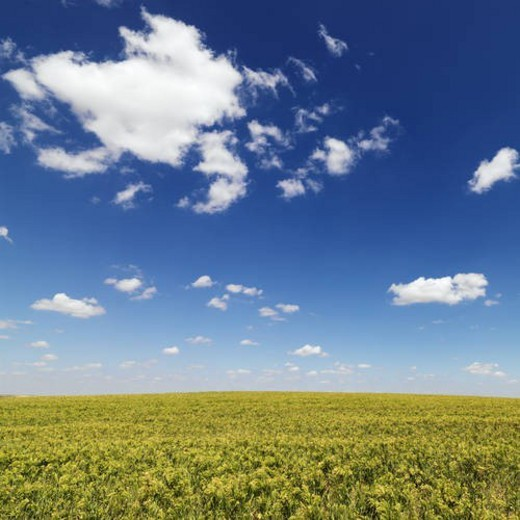 Crops Growing in a Field : Stock Photo