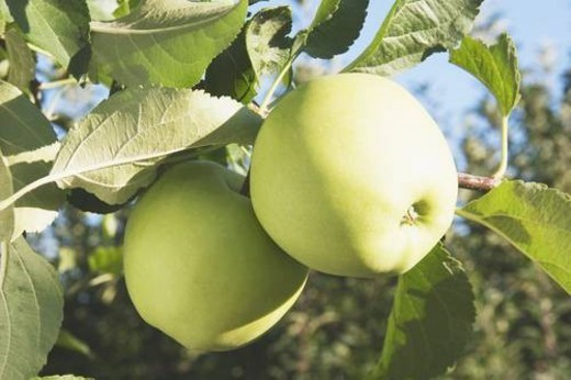 Apples on a tree : Stock Photo