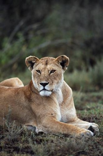 Lioness reclining, Africa : Stock Photo