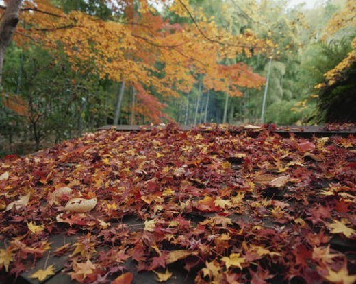 Stock Photo: 4029R-201197 Roof with fallen autumn leaves. Jikishi-an, Kyoto, Japan
