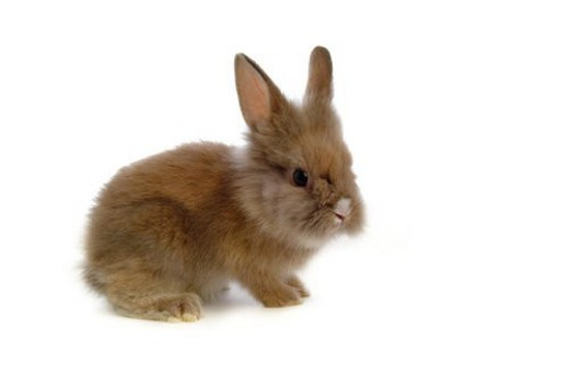 Stock Photo: 4029R-203563 mammal, animal, vertebrate, LionHead, rabbit, land animal, pet
