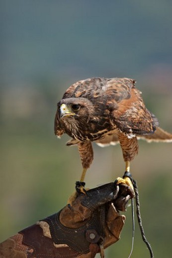 falcon in captivity, on leather glove : Stock Photo