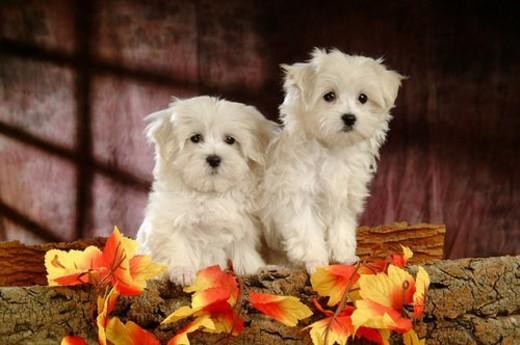 Stock Photo: 4029R-207091 house pet, domestic, cute, loving, canines, faithful, maltese