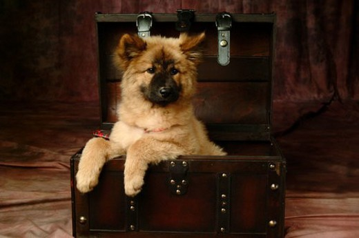 cute, domestic, loving, puppy, canines, chow chow : Stock Photo