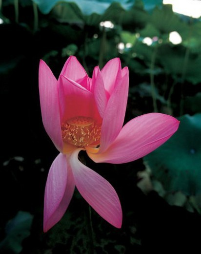 Stock Photo: 4029R-209275 Close-up of water lily, Hong Village, Yi County, Anhwei