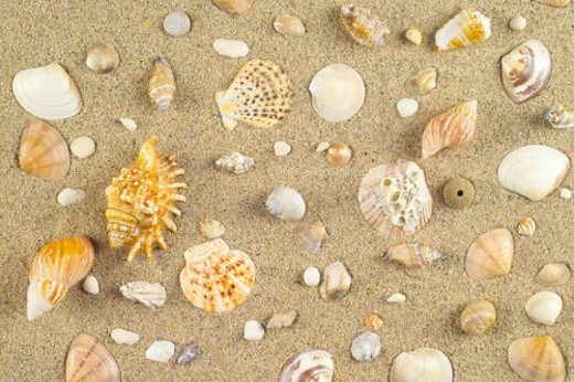 Stock Photo: 4029R-210021 mollucca, animal, mollusc, mollusks, mollusk, shellfish, conch