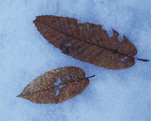 Stock Photo: 4029R-211480 Withered leaves on the snow