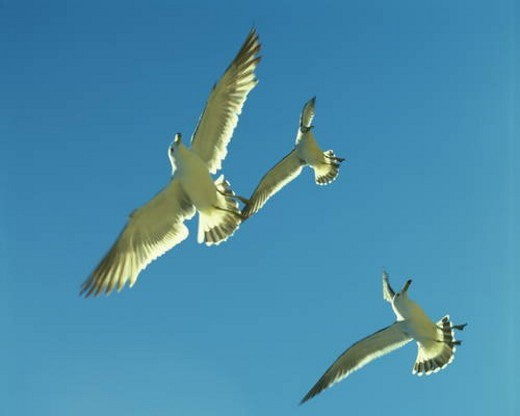 Stock Photo: 4029R-211808 Sea gulls flying in a clear blue sky