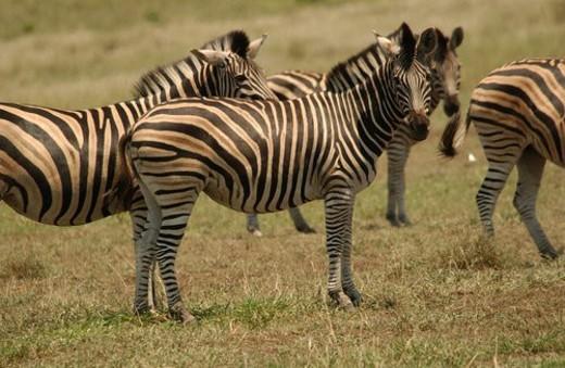 Kruger National Park, South Africa - Zebra : Stock Photo