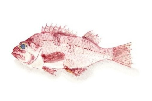 Stock Photo: 4029R-212615 Pacific Ocean Perch, Ink Brush Painting