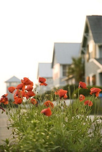 Red poppy flowers in front of houses. : Stock Photo