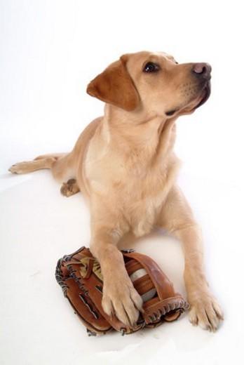 house pet, domestic, cute, loving, canines, labrador retriever : Stock Photo