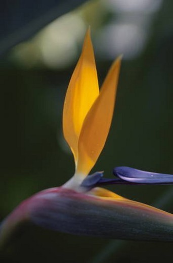 Stock Photo: 4029R-215880 Bird of paradise, close up, differential focus