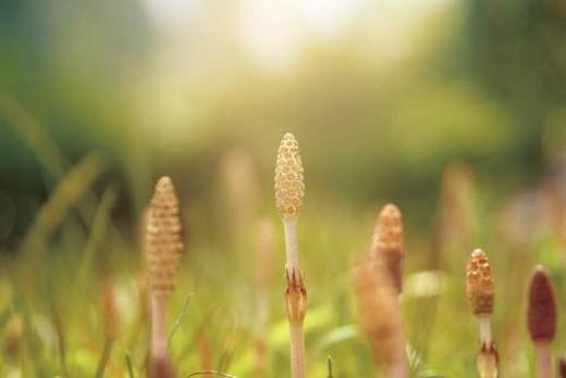 Horsetails, close up : Stock Photo