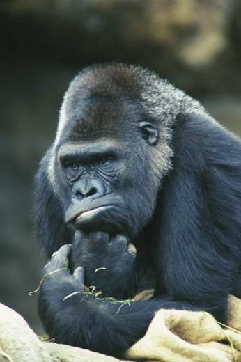 Stock Photo: 4029R-221833 Gorilla looking contemplative