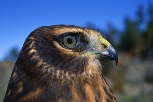 Northern harrier raptor in profile : Stock Photo