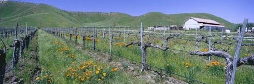 Stock Photo: 4029R-226002 Panoramic view of Golden California poppies and wine vineyard with barn and green rolling hills