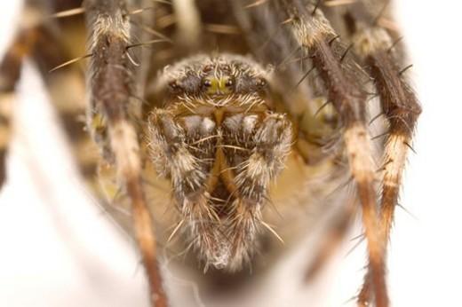 wiesenbewohner, freigestellt, alfred, animal, animals, arachnid : Stock Photo
