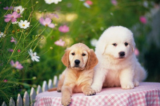 Stock Photo: 4029R-229674 a Golden Retriever and a Pyrenean Mountain Dog Lying On a Table Covered With a Pink-colored Blanket, Looking at Camera, Front View, Differential Focus