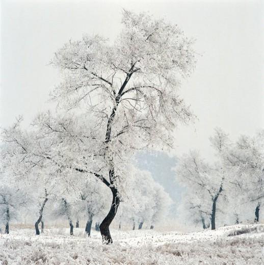 Snow-covered pines and ground, Wusong island, Hantun, Jilin : Stock Photo