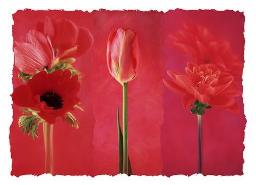 Stock Photo: 4029R-242089 A collage of red flowers