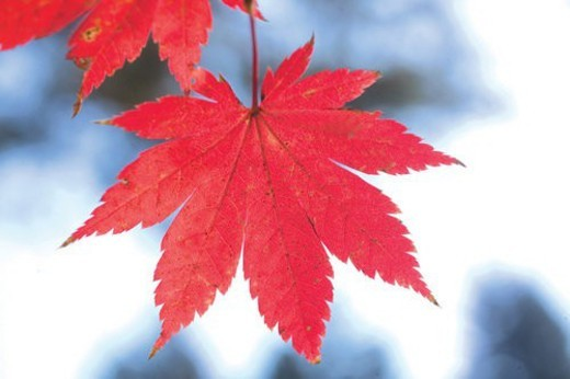 Stock Photo: 4029R-244509 fall, plant, autumn, season, leaf, maple leaves, nature
