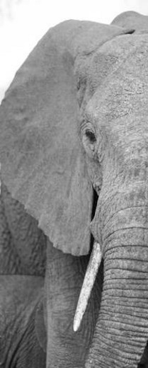Stock Photo: 4029R-248590 Elephant wildlife in Kenya