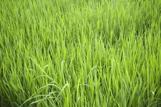 Stock Photo: 4029R-249705 Rice field