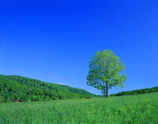 Single tree on hill : Stock Photo