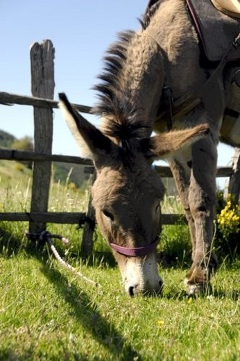 Stock Photo: 4029R-250764 Fauna, mountain, mountainside, donkey, Summer, Donkey