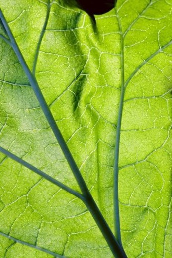 Stock Photo: 4029R-253073 Close-up leaf viens