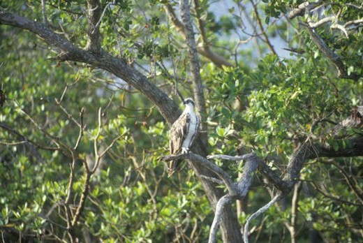 Stock Photo: 4029R-254654 An Osprey sits in a tree at Everglades National Park