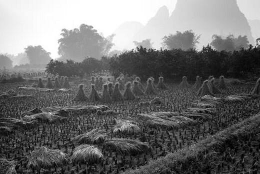 Yangshuo county, China, Asia; Rice fields : Stock Photo