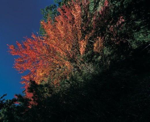 Stock Photo: 4029R-256490 Variation, Seasons, Day, Non-Urban Scene, Maple Tree