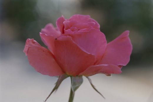 Stock Photo: 4029R-260634 Rose