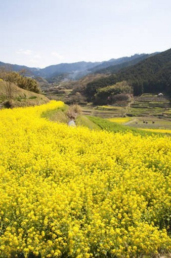 Stock Photo: 4029R-262504 Oilseed rape and terraced field