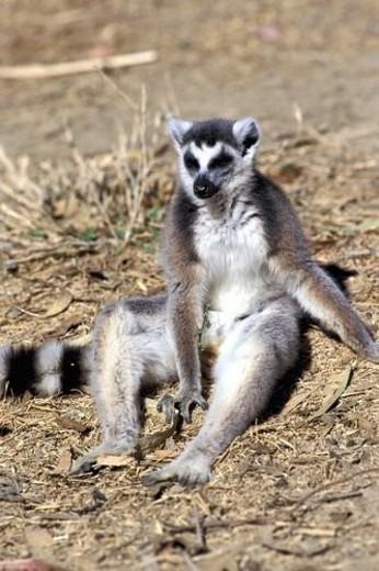 Stock Photo: 4029R-262781 Fauna, Adventure, trip, Tight, shot, Monkey, Summer