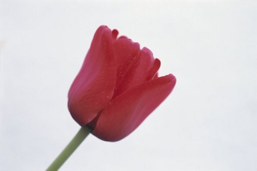 Tulip : Stock Photo