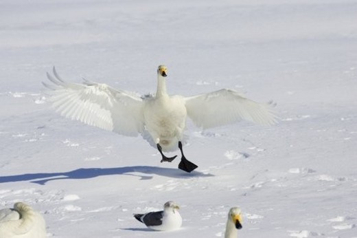 Whooper swan landing on the snow with other swans and gulls : Stock Photo