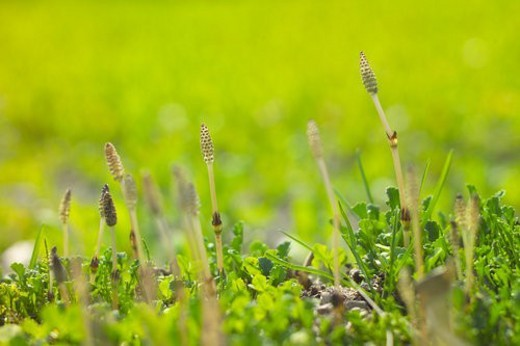 Field Horsetail : Stock Photo