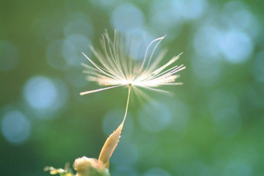 A fluff of a dandelion, close up, differential focus : Stock Photo