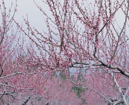 Stock Photo: 4029R-268347 Blossom, Clear Sky, Day